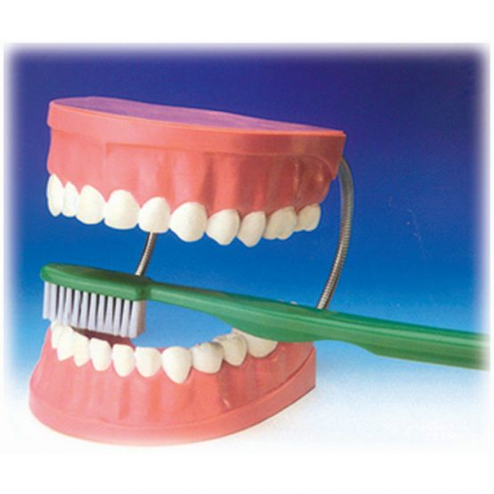 Diş Fırçalama Modeli